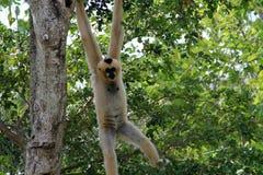 Weiblicher Affe, der heraus hängt Lizenzfreies Stockfoto