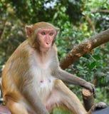 Weiblicher Affe, der im Baum sitzt Stockbilder