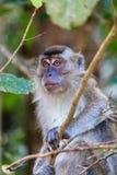 Weiblicher Affe in einem Baum Lizenzfreies Stockfoto