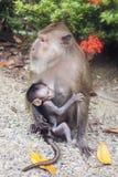 Weiblicher Affe mit Baby Stockfotos