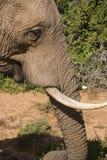 Weiblicher afrikanischer Elefant Lizenzfreies Stockfoto