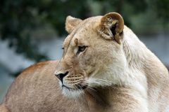 Weiblicher afrikanischer Löwe Stockfotos