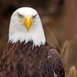 Weiblicher amerikanischer Adler Stockfotografie