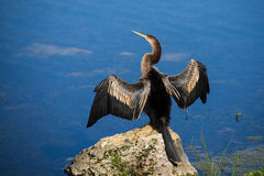 Weiblicher Anhinga Stockfotos