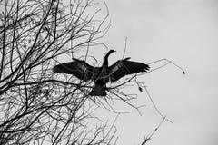 Weiblicher Anhinga, der ihre Flügel trocknet stockfotos