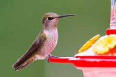 Weiblicher Anna-` s Kolibri Stockfoto