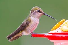 Weiblicher Anna-` s Kolibri Lizenzfreie Stockfotografie