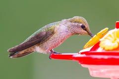 Weiblicher Anna-` s Kolibri Stockfotos