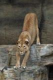 Weiblicher Barbary-Löwe Lizenzfreie Stockfotos