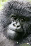 Weiblicher Berggorilla Lizenzfreie Stockbilder