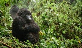 Weiblicher Berggorilla, der im Wald denkt Lizenzfreie Stockfotografie