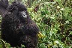 Weiblicher Berggorilla, der im Wald, Nahaufnahme denkt Stockfotografie