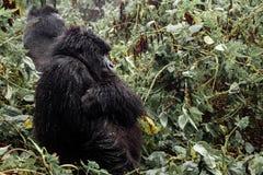 Weiblicher Berggorilla, der im Wald steht Lizenzfreie Stockbilder