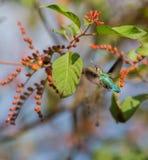 Weiblicher Bienen-Kolibri im Flug Stockbilder