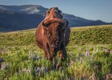 Weiblicher Bison, der durch die Wildflowers von Lamar Valley geht stockfotos