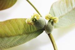 Weiblicher Blütenstand der Walnuss mit Blättern stockbild