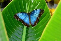 Weiblicher blauer Morpho-Schmetterling Stockbilder