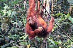Weiblicher Borneo-Orang-Utan mit seinem Jungen, hängend und essen an Stockbild