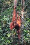 Weiblicher Borneo-Orang-Utan mit seinem Jungen, hängend und essen an Lizenzfreie Stockfotografie