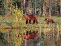 Weiblicher Braunbär mit Jungen Lizenzfreies Stockbild