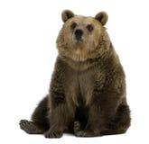 Weiblicher Brown-Bär, 8 Jahre alt, sitzend Lizenzfreies Stockbild