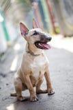 Weiblicher Bullterrierhund, der am Boden im schmalen Durchgang sitzt und die Kamera betrachtet Hundetragendes Hundekleid stockfoto