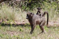 Weiblicher Chacma-Pavian u. ihre Junge Stockbild