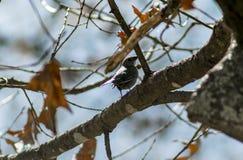 Weiblicher Cowbird u. x28; 1& x29; Stockfoto