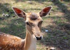 Weiblicher Damhirsch-Kopf mit den angehobenen Ohren Lizenzfreies Stockbild