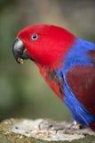 Weiblicher eclectus Papagei Lizenzfreies Stockfoto