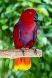 Weiblicher Eclectus-Papagei auf einem Baumbrunch lizenzfreies stockbild