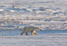 Weiblicher Eisbär Stockfotos