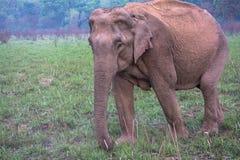 Weiblicher Elefant Lizenzfreie Stockfotografie