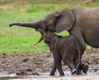 Weiblicher Elefant mit einem Baby Stockfoto