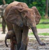 Weiblicher Elefant mit einem Baby Lizenzfreie Stockfotos