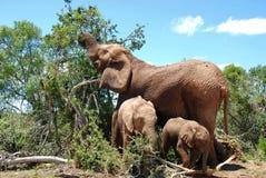Weiblicher Elefant mit Schätzchen zwei Stockfotografie
