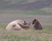 Weiblicher erwachsener Graubär Schlafens mit Jungen Stockbilder