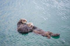 Weiblicher erwachsener Seeotter mit Baby Lizenzfreie Stockbilder