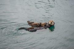Weiblicher erwachsener Seeotter mit Baby stockfoto