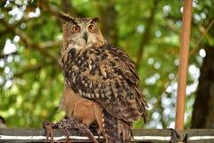 Weiblicher Europäer Eagle Owl (Bubo Bubo) sitzt auf einer Niederlassung in einem Holz Stockfotos