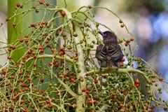 Weiblicher Feigen-Vogel Stockbild
