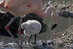 Weiblicher Flamingo und Küken Stockbild