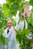 Weiblicher Forscher, der frische grüne Bohnen im Gewächshaus auswählt Lizenzfreie Stockfotografie
