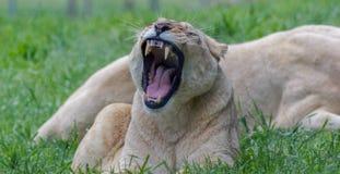 Weiblicher gähnender Löwe lizenzfreie stockbilder