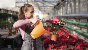 Weiblicher Gärtner in der Uniform gehend in Töpfe eines Gewächshauses und der Bewässerung der roten Poinsettias mit Gartengießkan stock video footage