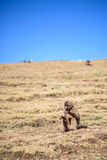 Weiblicher gelada Pavian, der auf einer Hochlandsteigung sitzt Stockbild