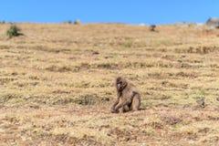 Weiblicher gelada Pavian, der auf einer Hochlandsteigung sitzt Lizenzfreie Stockbilder
