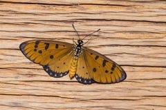 Weiblicher gelb-brauner coster Schmetterling Stockfotografie