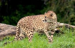 Weiblicher Gepard Stockfoto