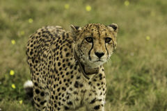 Weiblicher Gepard Lizenzfreies Stockfoto